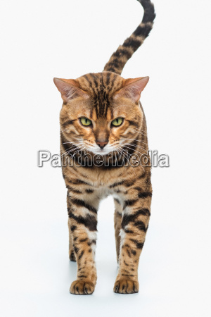 the gold bengal cat on white