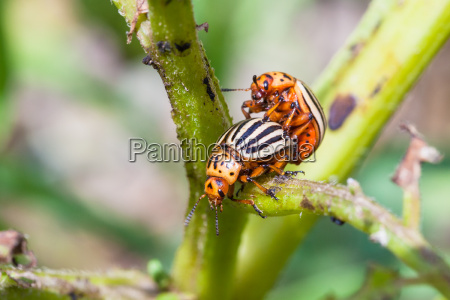 couple of colorado beetles on potato