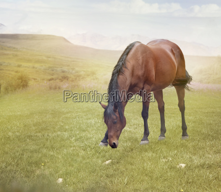 brown horse grazing in a