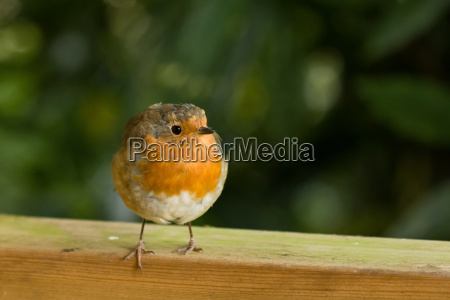 robin on fence looking to its