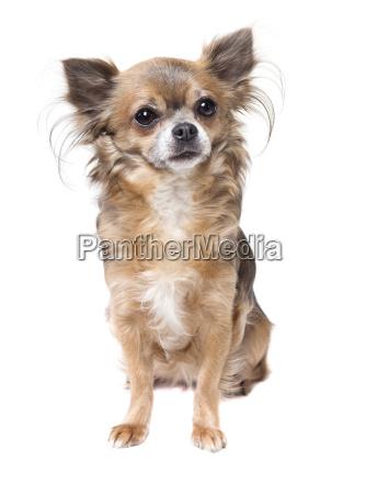 chihuahua sits free