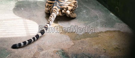 female bengal tiger pee on the