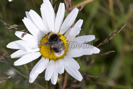 bumblebee on oxeye daisy flower close