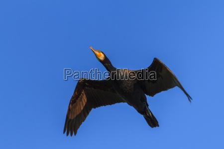 cormorant phalacrocorax carbo in flight