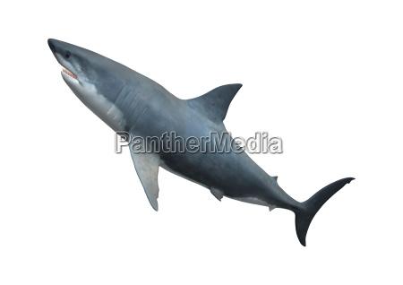 3d rendering great white shark on