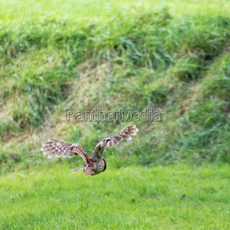 tawny owl strix aluco in flight