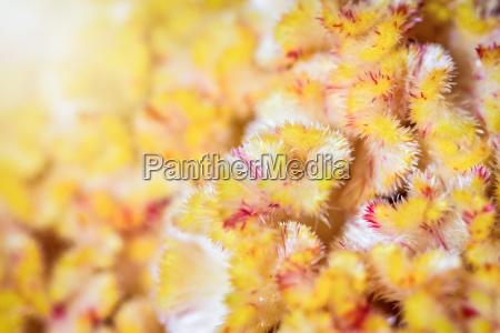 macro yellow cockscomb flower