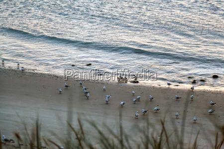 little blue penguins eudyptula minor coming