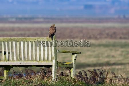 kestrel sitting on a bench enjoying