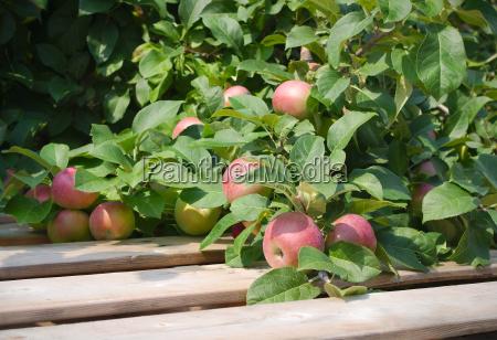 organic apple picking in tree paulared