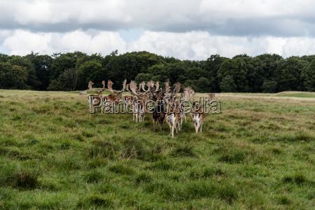 a herd of fallow deers in