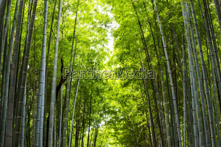 bamboo forest for nature background