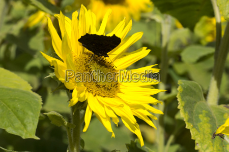 close up of sunflowers on the