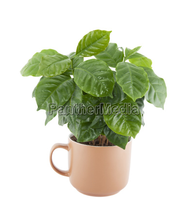 coffee plant in a cup isolated