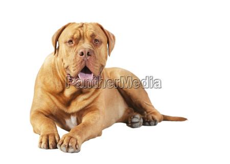 bordeaux dogge lying free