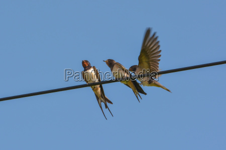 barn swallows on the power line