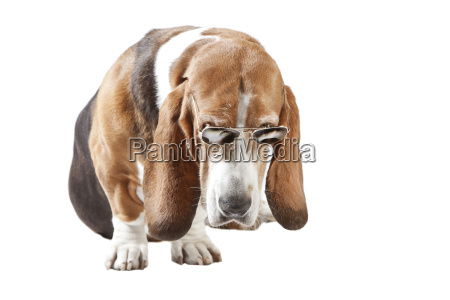 basset hound sunglasses exempt