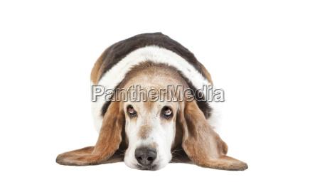 basset hound long ears