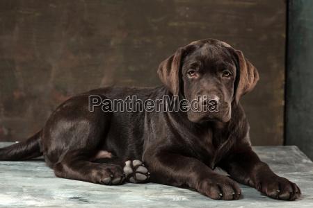 the portrait of a black labrador