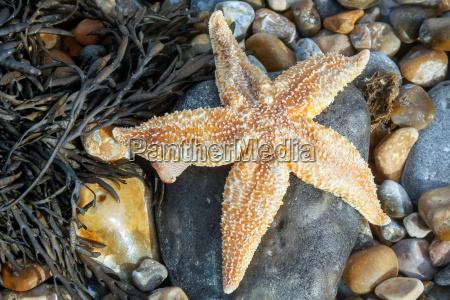 common starfish asterias rubens washed ashore