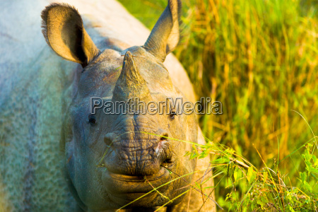 one horned indian rhinoceros face closeup