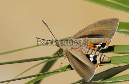 moth paysandisia archon