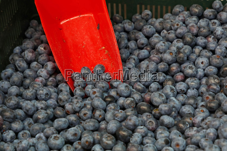 fresh ripe blueberries with red scoop