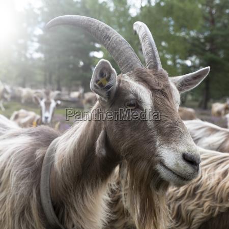 goat on the heath portrait