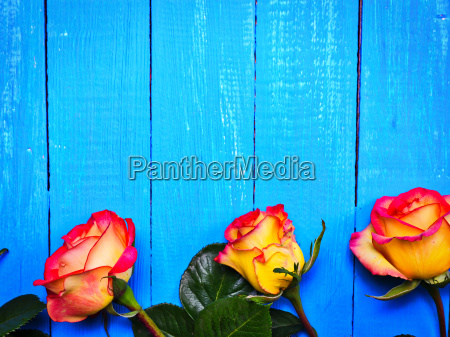 three yellow red roses on a