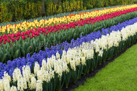 rows of multi coloured tulips and