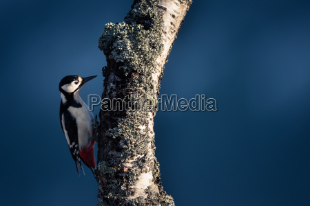 female great spotted woodpecker dendrocopos major