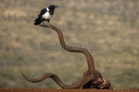pied crow corvus albus zimanga private