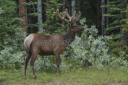 bull elk with velvet covered antlers