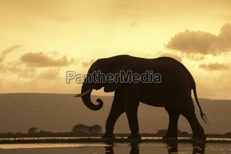 african elephant loxodonta africana bull at
