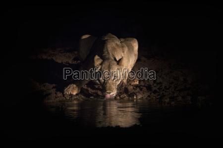 lioness panthera leo drinking at night