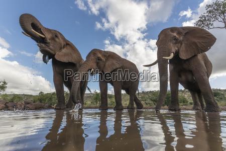 elephants loxodonta africana drinking zimanga private