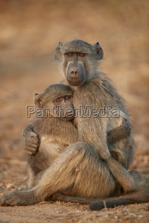 chacma baboon papio ursinus comforting a