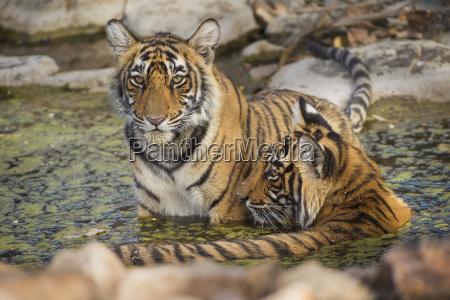 bengal tiger panthera tigris tigris ranthambhore