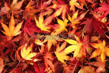 colorful small maple leaves on the