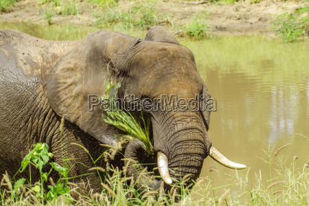 a wild african bush elephant is