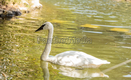 trumpeter swan cygnus buccinators