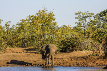 group of african bush elephants drinking