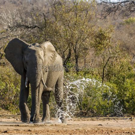 loxodonta africanan wild elephant drinking and