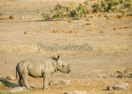 a baby white rhinoceros is playing