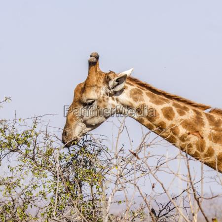 portrait of a wild giraffe eating