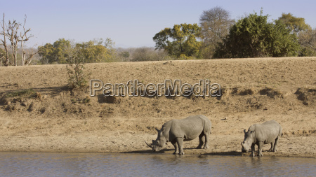african rhinoceros drinking in the riverbank