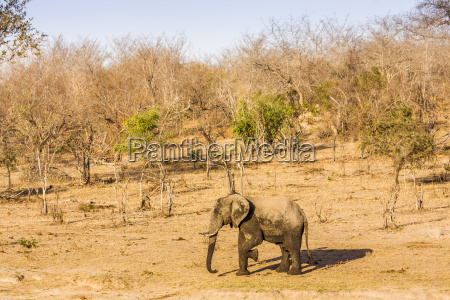 african bush elephant in the riverbank