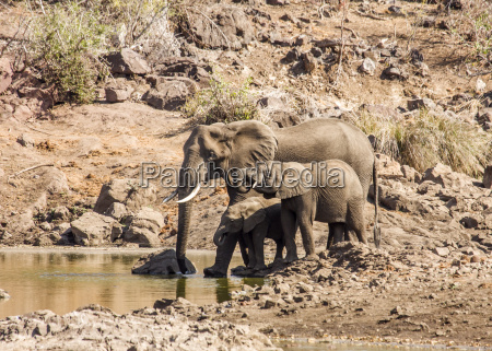 group of african elephants in kruger
