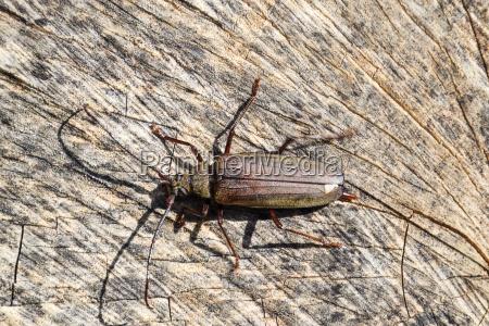 beetle bark beetle imago of an