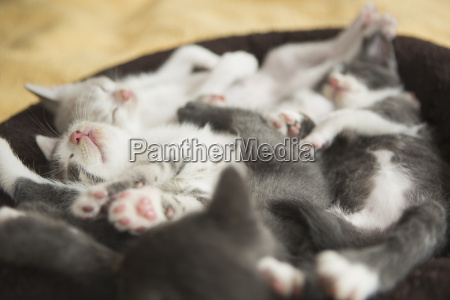 a litter of grey and white